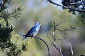Mountain Bluebird Perched in a Tree — 图库照片