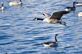 Kanada husy létání nad vodou — Stock fotografie