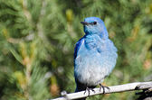 Mountain Bluebird Perched in a Tree — Stock Photo