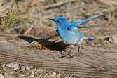 Mountain Bluebird Stretching its Wings — Stock Photo