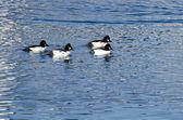 Common Goldeneye Ducks Swimming on the Water — Stock Photo