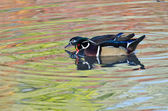 Wood Ducks Swimming in the Reflection of Autumn Colors — Stock Photo