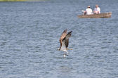 Osprey Carrying a Caught Fish Past Two Fishermen — Stock Photo