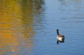 Канада гусь на осенний Золотой пруд — Стоковое фото