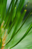 Nature's Abstract - Pine Needles — Zdjęcie stockowe