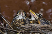 Young Robins in the Nest — Stock Photo