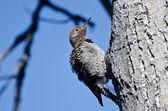 Ruffled Northern Flicker Clinging To Tree — Stock Photo