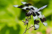 Dragonfly Perched on End of Twig — Stock Photo