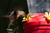 Rufous Hummingbird Drinking From a Feeder — Stock Photo