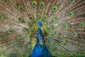 показаны красивые перья павлина — Стоковое фото