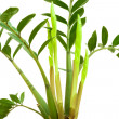 Zamioculcas or dollar tree growing leaves isolated on white — Stock Photo #36458161