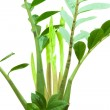 Zamioculcas or dollar tree growing leaves isolated on white — Stock Photo