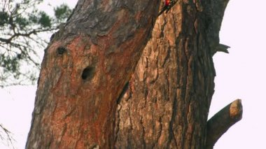 HD. Beautiful forest bird feeding chicks in the hollow of a tree at sunset — Wideo stockowe