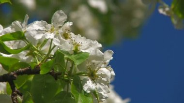 HD. closeup of beautiful white flowers of fruit pear tree with green leaves and flying insects — Stock Video