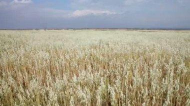 Autumn field corn — Stock Video