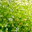 Airy white flowers — Stock Photo