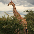 Giraffe in EtoshNational Park, Namibia — Stock Photo #34672607