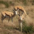 Stock Photo: Springboks in Namibia