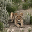 Stock Photo: Lioness in Etosha, Namibia