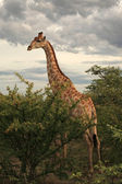 Giraffe in Etosha National Park, Namibia — Stock Photo