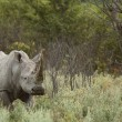 Stock Photo: Rhino of Etosha, Namibia