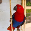 Stock Photo: Beautiful Female Eclectus Parrot Posing for Camera