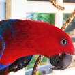 Stock Photo: Female Eclectus Parrot Posing for Camera