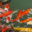 Stock Photo: Koi Fish Series 06
