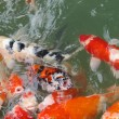 Stock Photo: Koi Fish Series 03