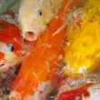 Stock Photo: Koi Fish Series 08