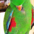 Green Male  Eclectus Parrot Plucking its Feathers — Stock Photo