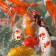 Stock Photo: Koi Fish Series 05