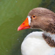 Greylag Goose Closeup on water — Stock Photo