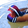 Adult Clolorful  Mandarin Duck — Stock Photo