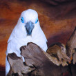 White Cacatue Parrot on Wooden branch — Stock Photo