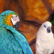 Blue and Yellow Macaw with White Parrot — Stock Photo