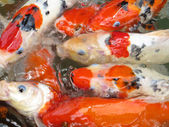 Koi Fish Series 10 — Stock Photo