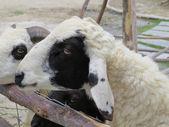 Chèvres sur une clôture en bois — Photo
