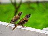 Couple d'oiseaux tarin des pins, chantant les uns aux autres — Photo