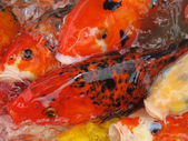 Koi Fish Series 07 — Stock Photo