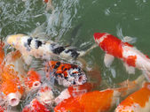 Koi Fish Series 03 — Stock Photo