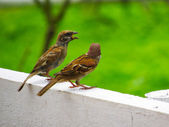 Couple of Pine Siskin Birds Talking to Each Other — Foto Stock