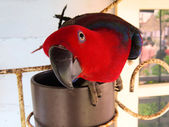 Female Eclectus Parrot Playing with the Camera — Stock Photo