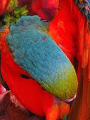 Blue and Orange Macaw Closeup — Photo