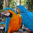 Blue and Yellow Macaws — Stock Photo