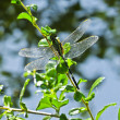Stock Photo: Male Agriocnemis MinimDragonfly in Branch