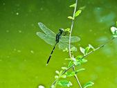 Libellula minimi di agriocnemis maschio mangiare una foglia — Foto Stock