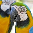 Stock Photo: Blue and Golden Macaws