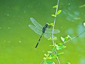 Libellule de minima agriocnemis mâle mangeant une feuille — Photo