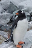 Antarctic penguin — 图库照片